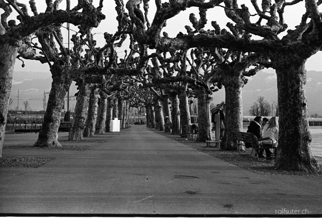 Tree alley at the harbor Rapperswil